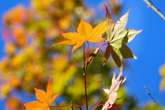 モミジも赤く秋深し_b0145296_15005567.jpg