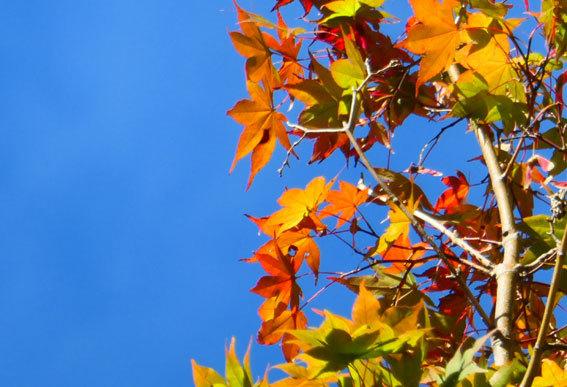 モミジも赤く秋深し_b0145296_15010012.jpg