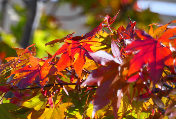 モミジも赤く秋深し_b0145296_15010297.jpg