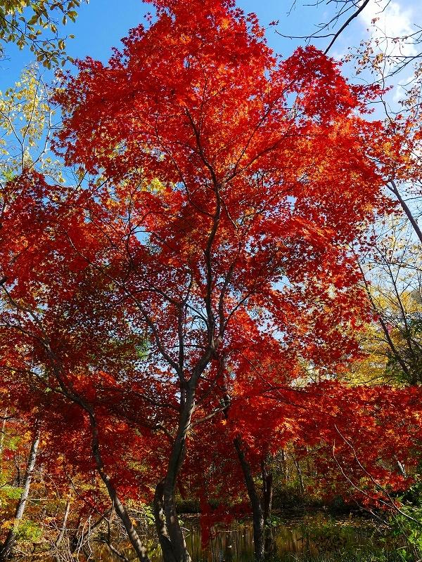 林東公園の紅葉、2019.10.23_f0138096_18162249.jpg