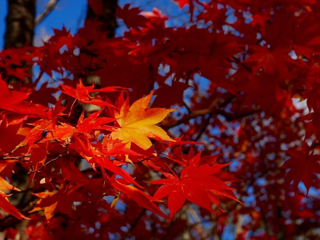 林東公園の紅葉、2019.10.23_f0138096_18163538.jpg