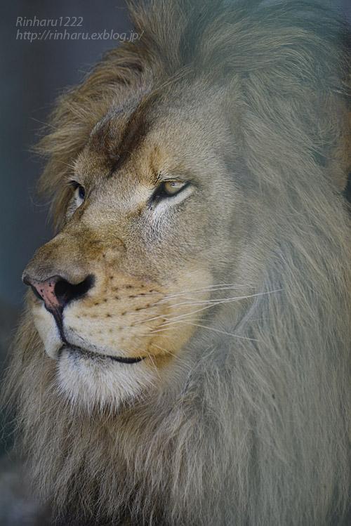 2019.8.13 東北サファリパーク☆白獅子ポップと茶獅子ノゾム【Lions】_f0250322_20545484.jpg