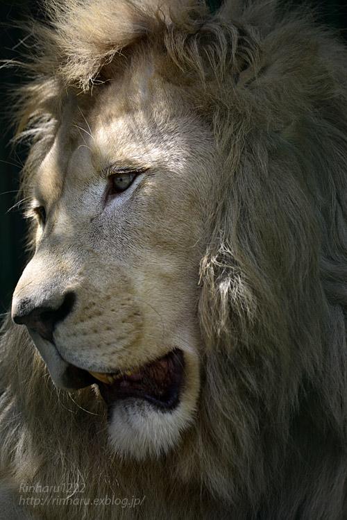 2019.8.13 東北サファリパーク☆白獅子ポップと茶獅子ノゾム【Lions】_f0250322_20552981.jpg