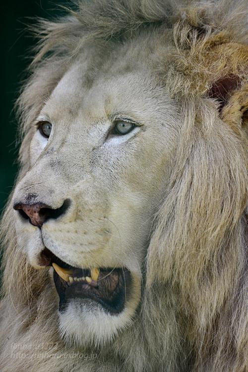 2019.8.13 東北サファリパーク☆白獅子ポップと茶獅子ノゾム【Lions】_f0250322_20554182.jpg