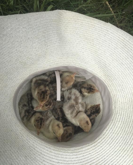 七面鳥の赤ちゃんが産まれました!/ Turkey Chicks have hatched!_e0310424_10594217.jpeg