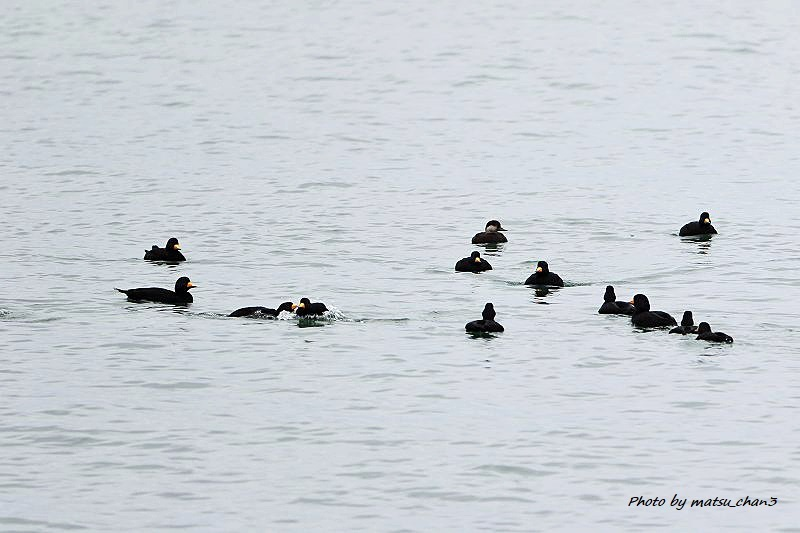 クロガモ  Common Scoter_c0070654_16451940.jpg
