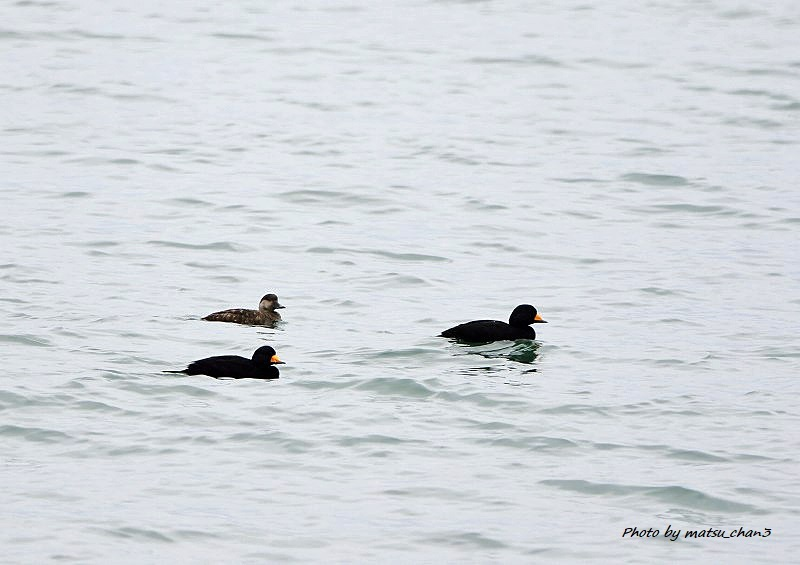 クロガモ  Common Scoter_c0070654_16453679.jpg