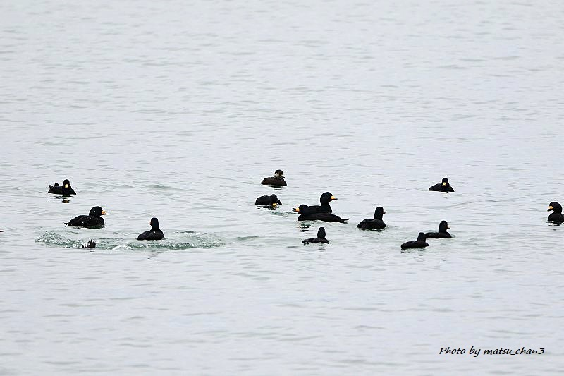 クロガモ  Common Scoter_c0070654_16454974.jpg