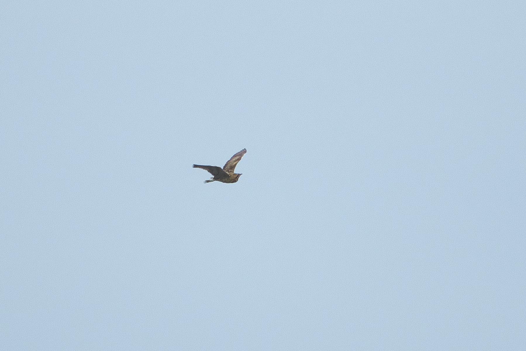 サンカノゴイが飛ぶ_d0125872_22444494.jpg