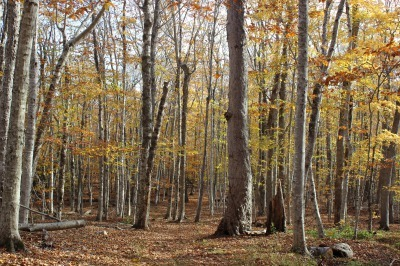 州立公園のブナ林_c0353373_02315989.jpg