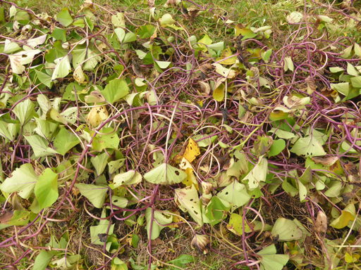 自然農の畑 10月中旬~下旬_d0366590_16040625.jpg