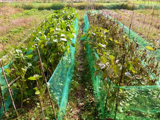 自然農の畑 10月中旬~下旬_d0366590_16361976.jpg