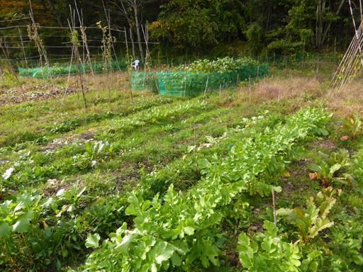 自然農の畑 10月中旬~下旬_d0366590_17350203.jpg