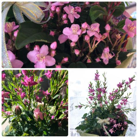 ピンク色の花たち_d0233891_18065008.jpg