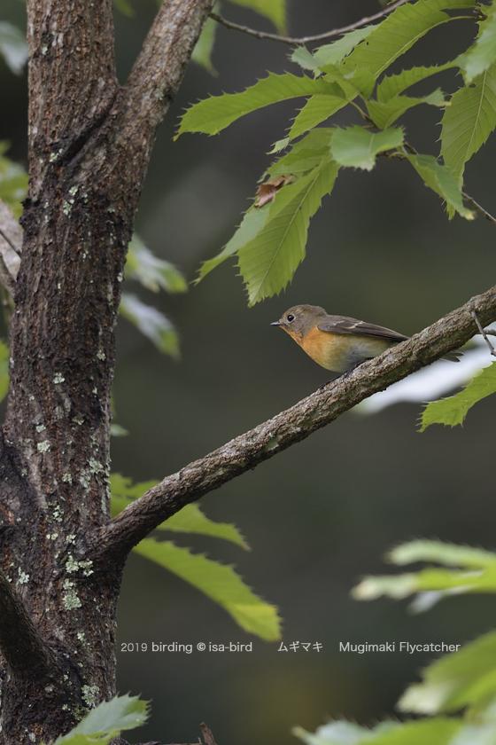 旬を外してしまったーーミズキに来る鳥_d0164892_23083718.jpg