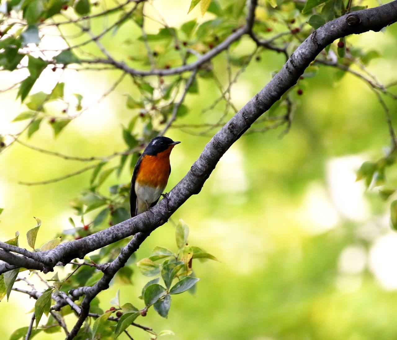 やっとムギマキ♂成鳥に出会う(その2)_c0213607_11381001.jpg