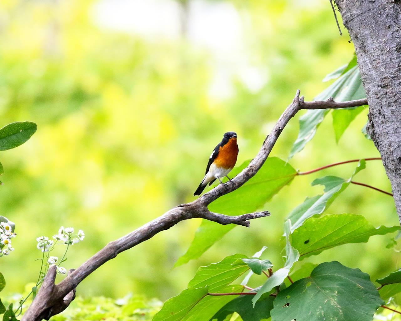 やっとムギマキ♂成鳥に出会う(その2)_c0213607_11381817.jpg