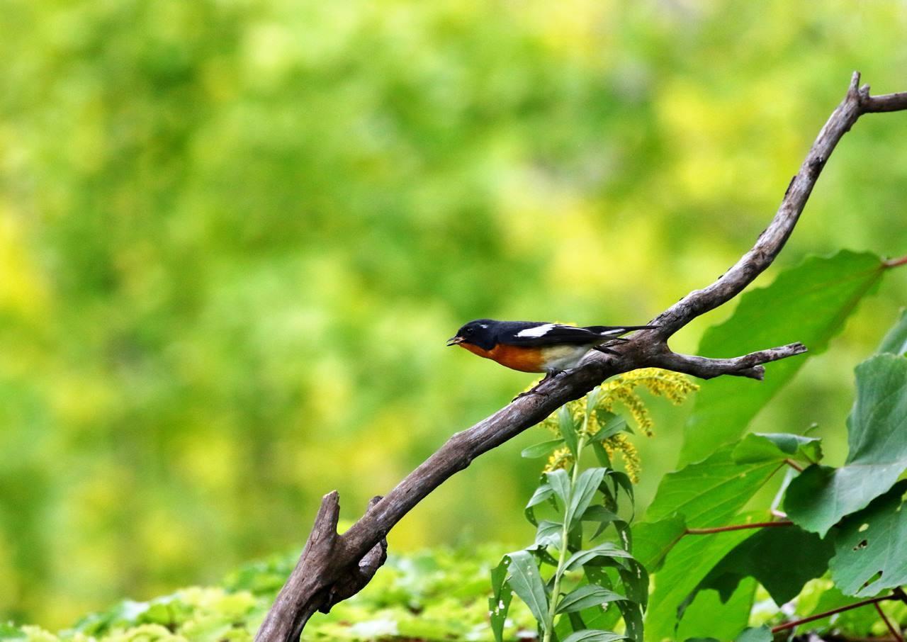 やっとムギマキ♂成鳥に出会う(その2)_c0213607_11382745.jpg