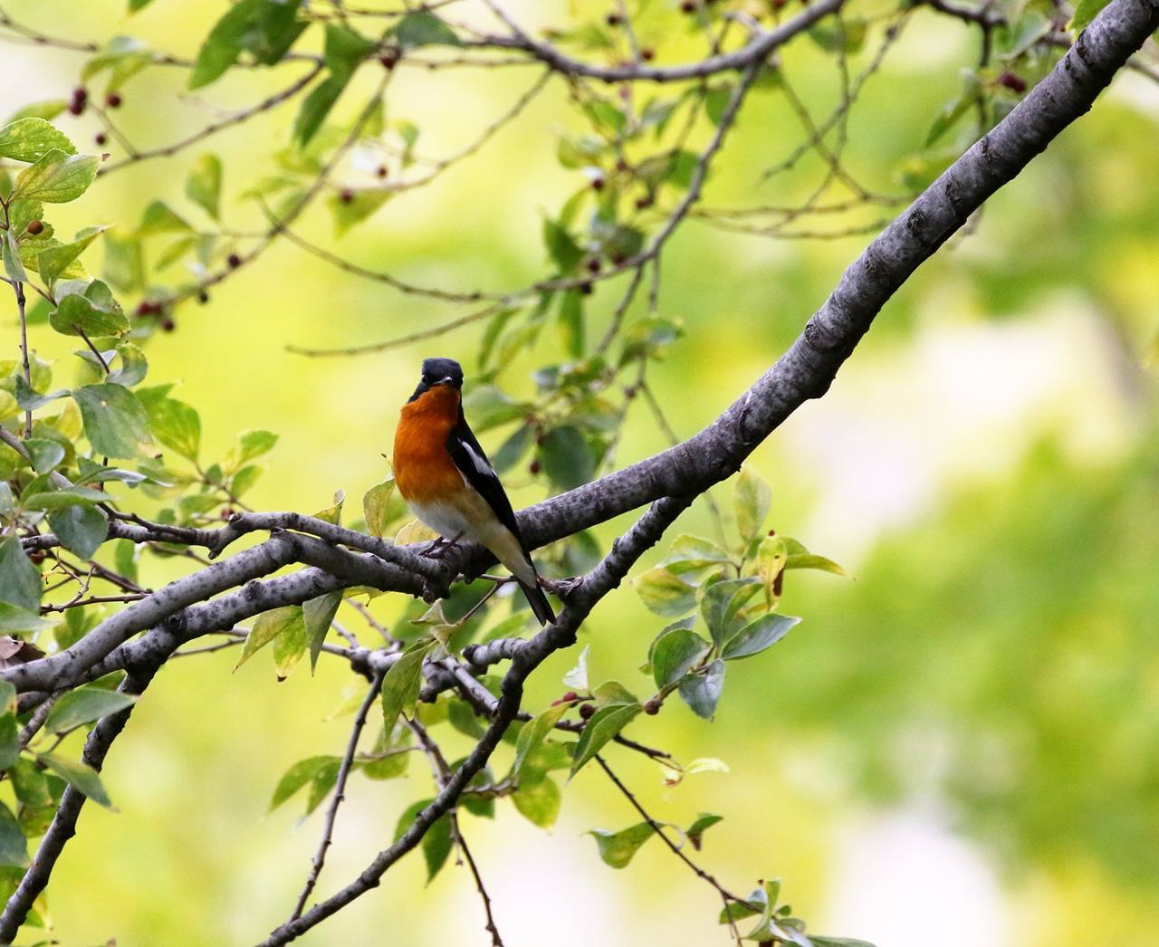 やっとムギマキ♂成鳥に出会う(その2)_c0213607_11383163.jpg