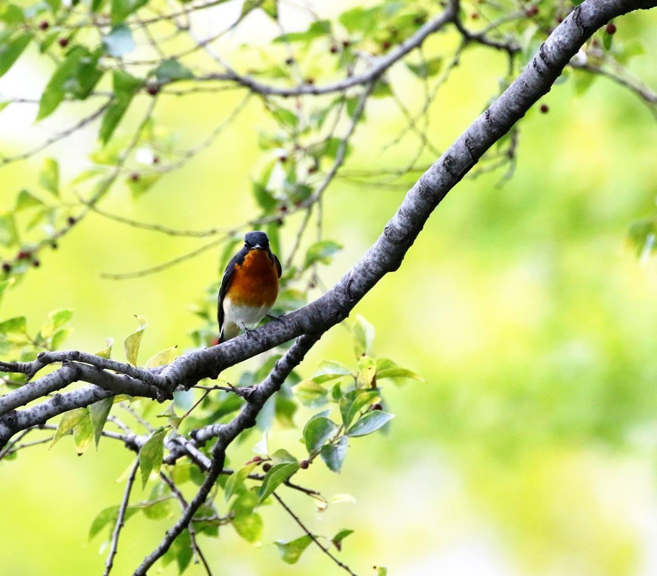 やっとムギマキ♂成鳥に出会う(その2)_c0213607_11385385.jpg