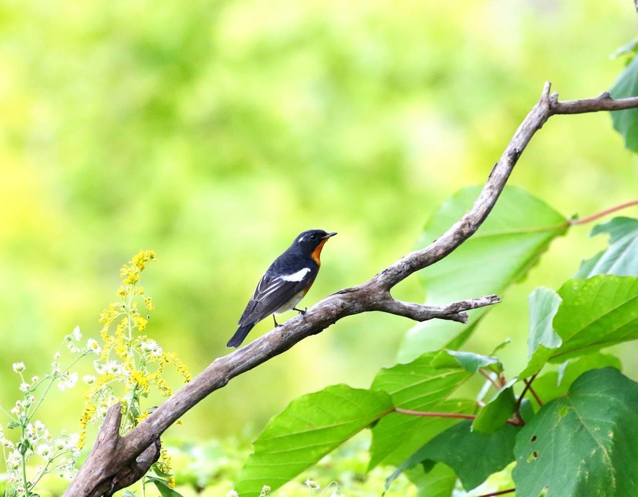 やっとムギマキ♂成鳥に出会う(その1)_c0213607_13080400.jpg