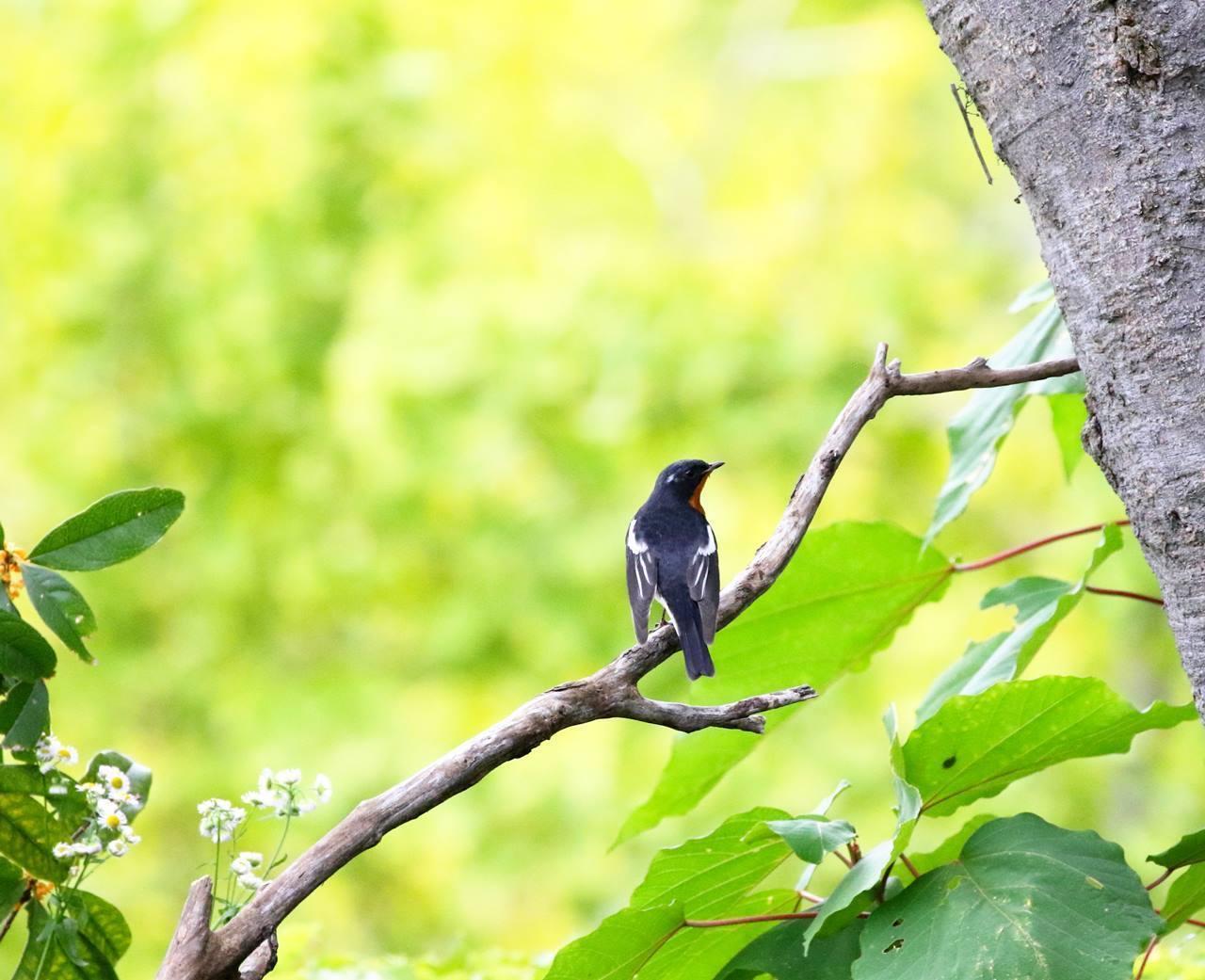 やっとムギマキ♂成鳥に出会う(その1)_c0213607_13164831.jpg