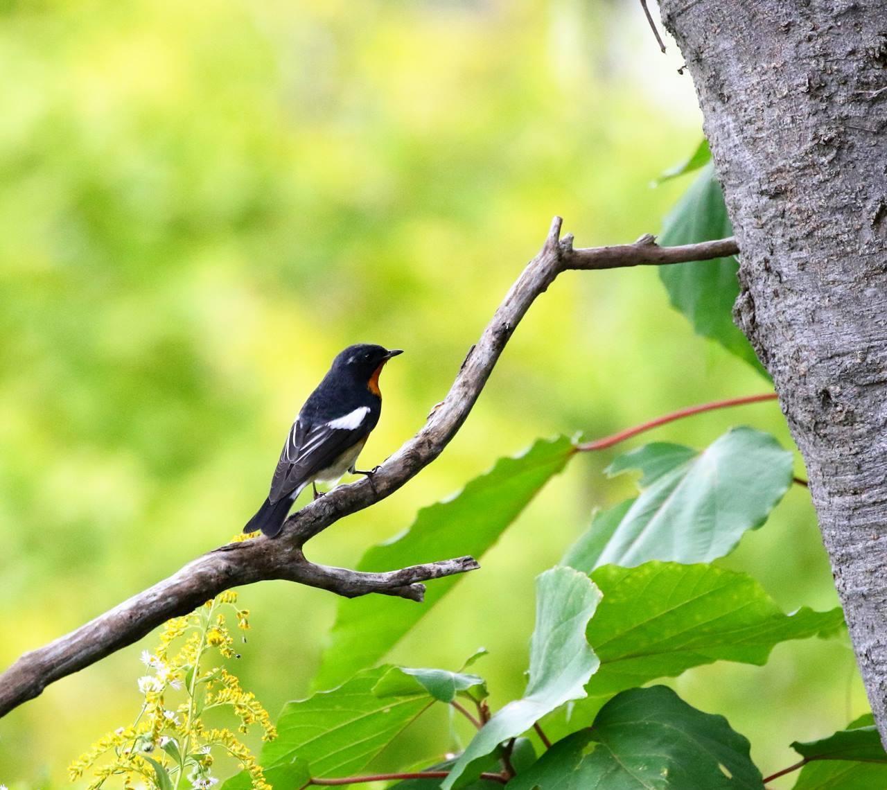 やっとムギマキ♂成鳥に出会う(その2)_c0213607_13253102.jpg