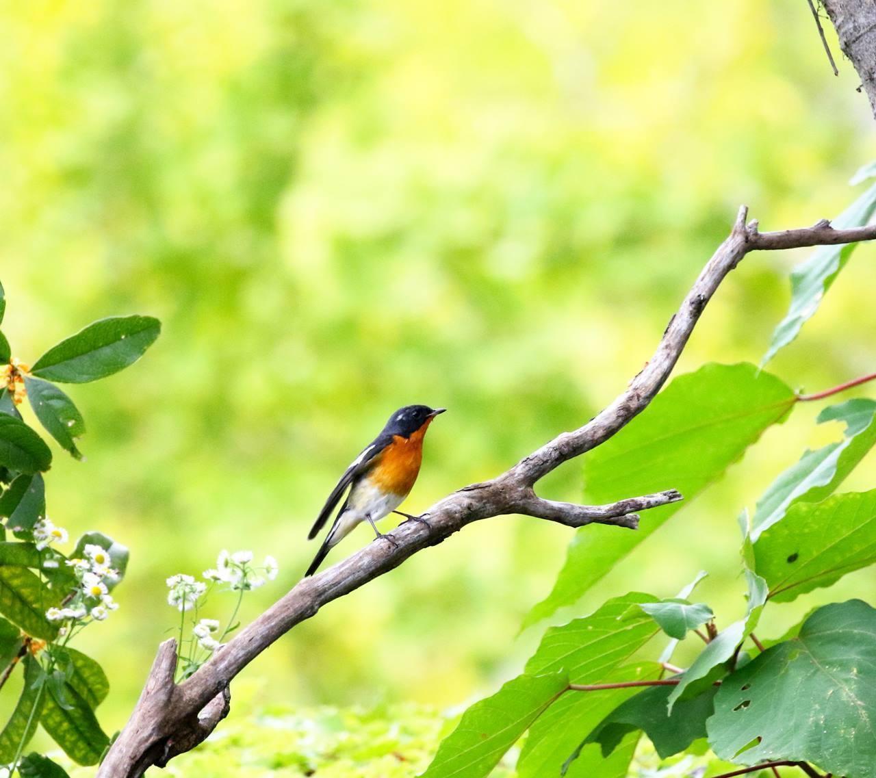 やっとムギマキ♂成鳥に出会う(その2)_c0213607_13303910.jpg