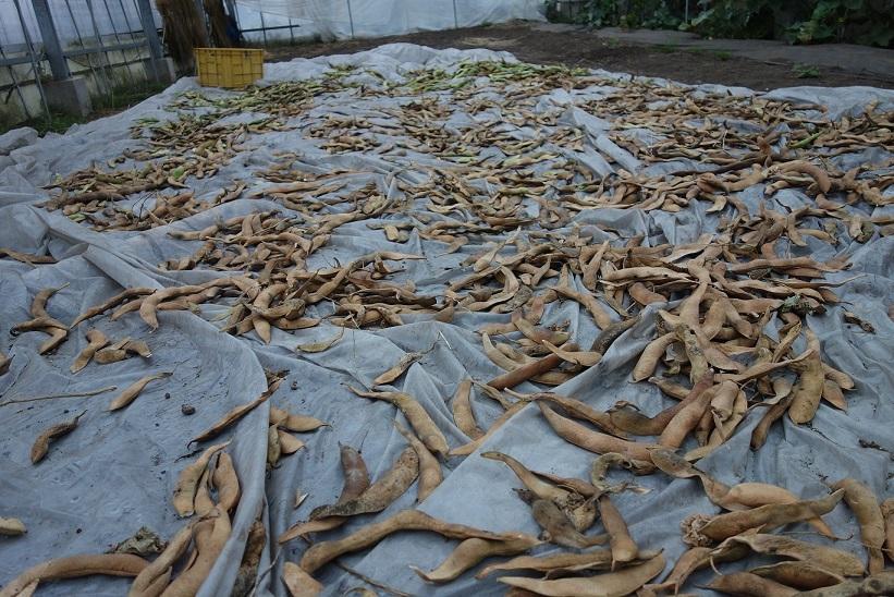 花豆の収穫_e0112417_22051219.jpg