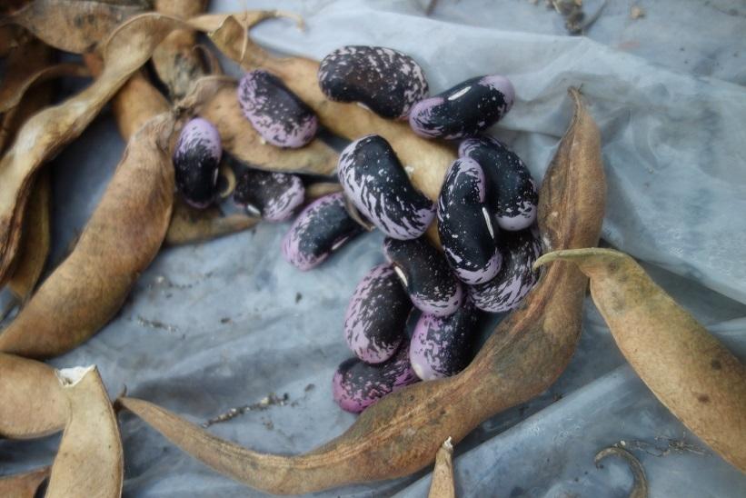 花豆の収穫_e0112417_22054200.jpg