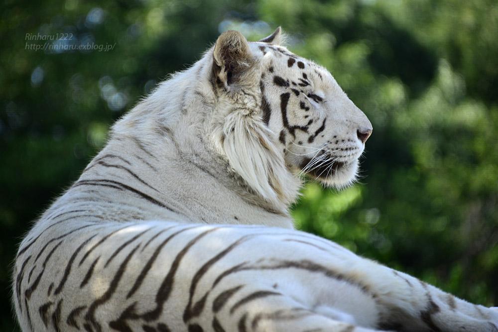 2017.6.3 群馬サファリパーク☆ホワイトタイガー【White tiger】_f0250322_19341423.jpg