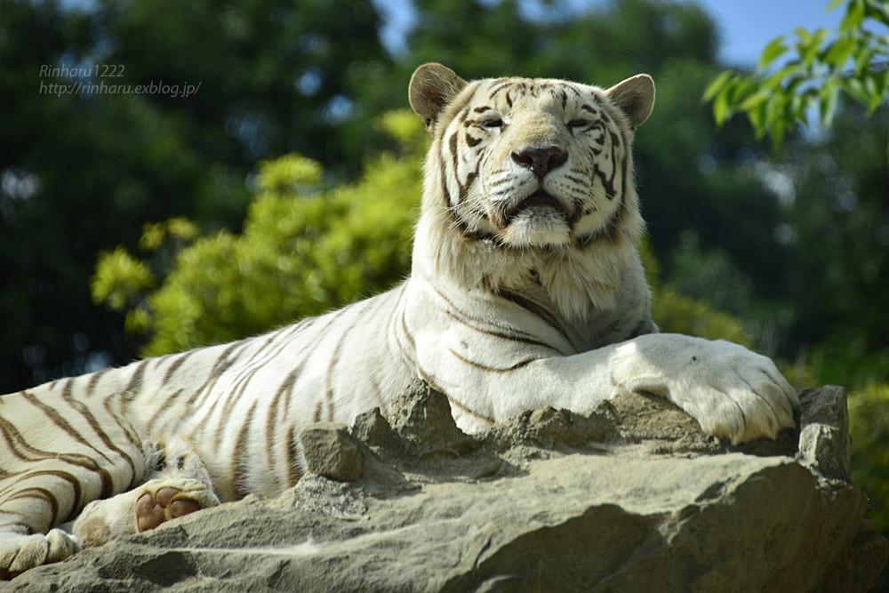 2017.6.3 群馬サファリパーク☆ホワイトタイガー【White tiger】_f0250322_19343346.jpg