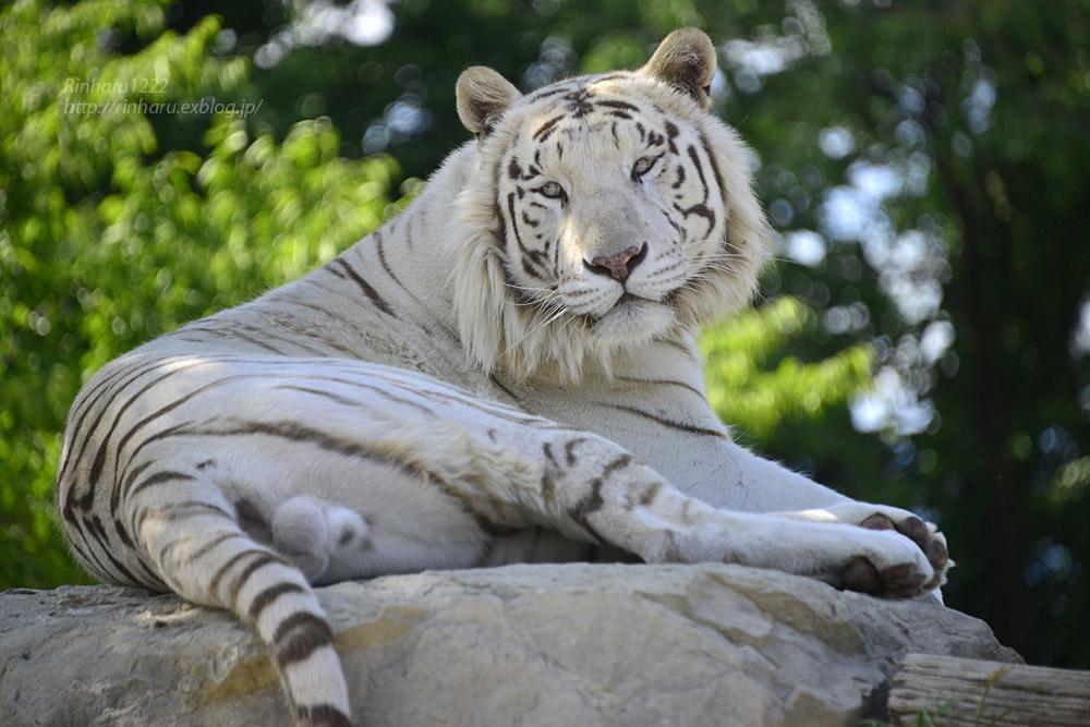 2017.6.3 群馬サファリパーク☆ホワイトタイガー【White tiger】_f0250322_1934829.jpg