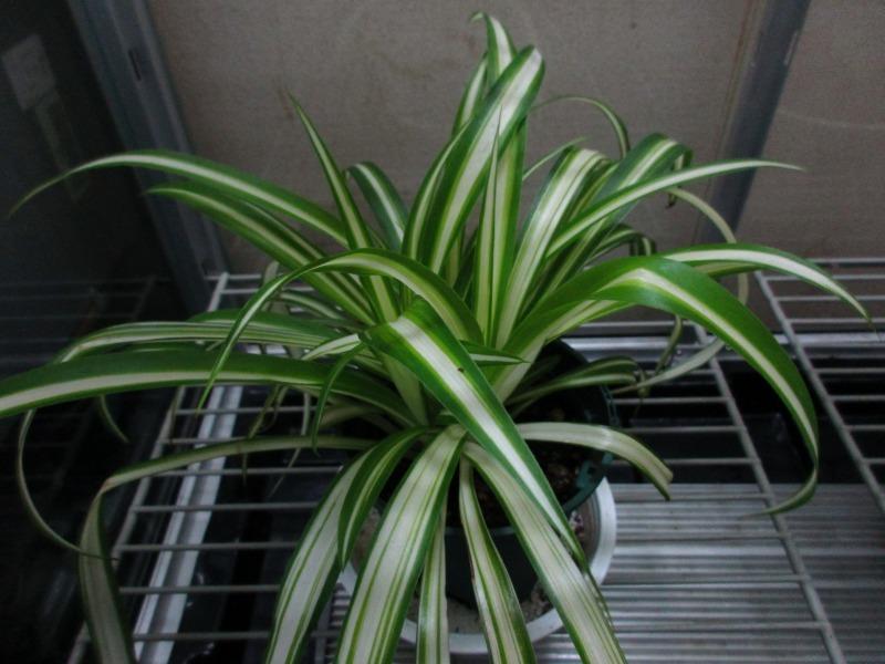 植物「復活のプミラ」_b0362459_14523623.jpg