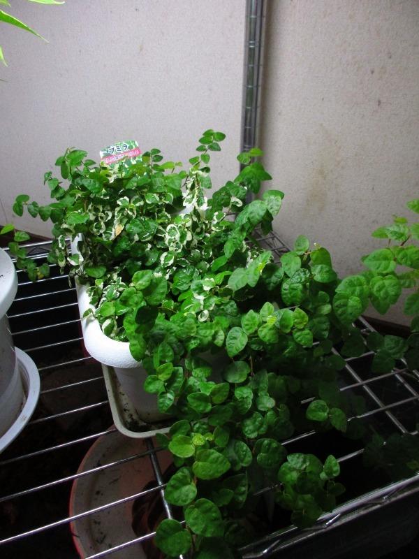 植物「復活のプミラ」_b0362459_14525285.jpg