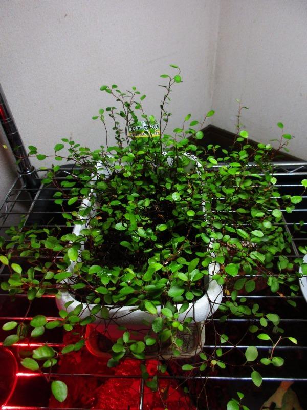 植物「復活のプミラ」_b0362459_15002038.jpg