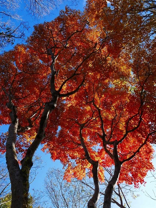 青葉公園の紅葉、2019.10.23_f0138096_10544789.jpg