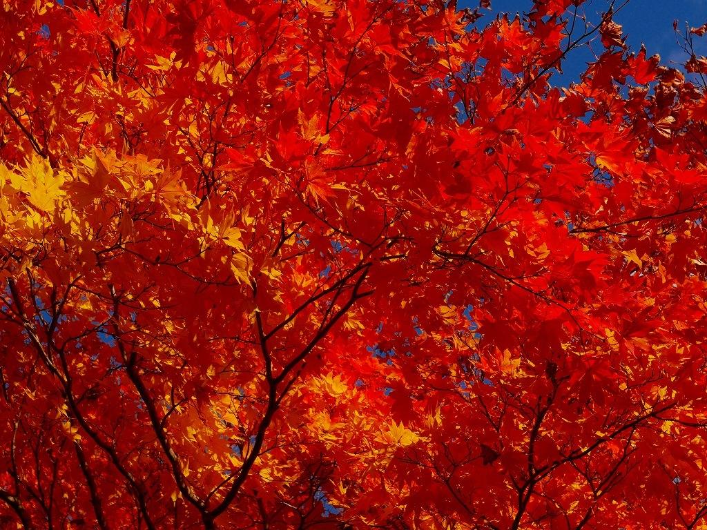 青葉公園の紅葉、2019.10.23_f0138096_10545759.jpg