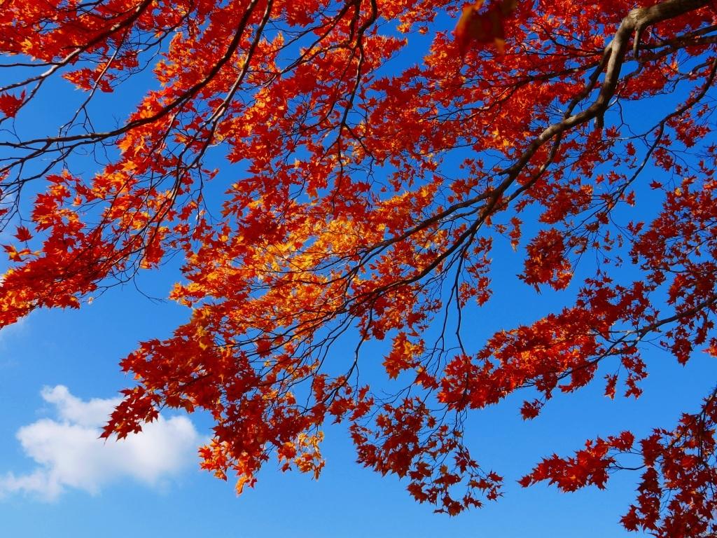 青葉公園の紅葉、2019.10.23_f0138096_10550045.jpg