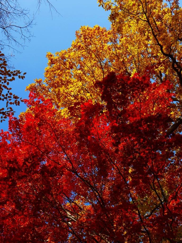青葉公園の紅葉、2019.10.23_f0138096_10550821.jpg