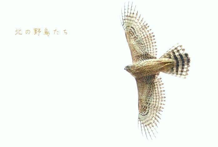 オオタカ_e0266021_20434268.jpg