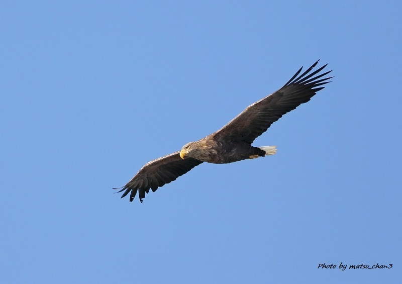 オジロワシ  White -tailed Eagle_c0070654_10311426.jpg