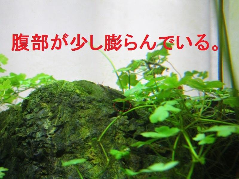 アクアリウム「抱卵」_b0362459_11425411.jpg