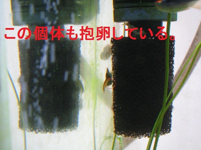 アクアリウム「抱卵」_b0362459_11445638.jpg