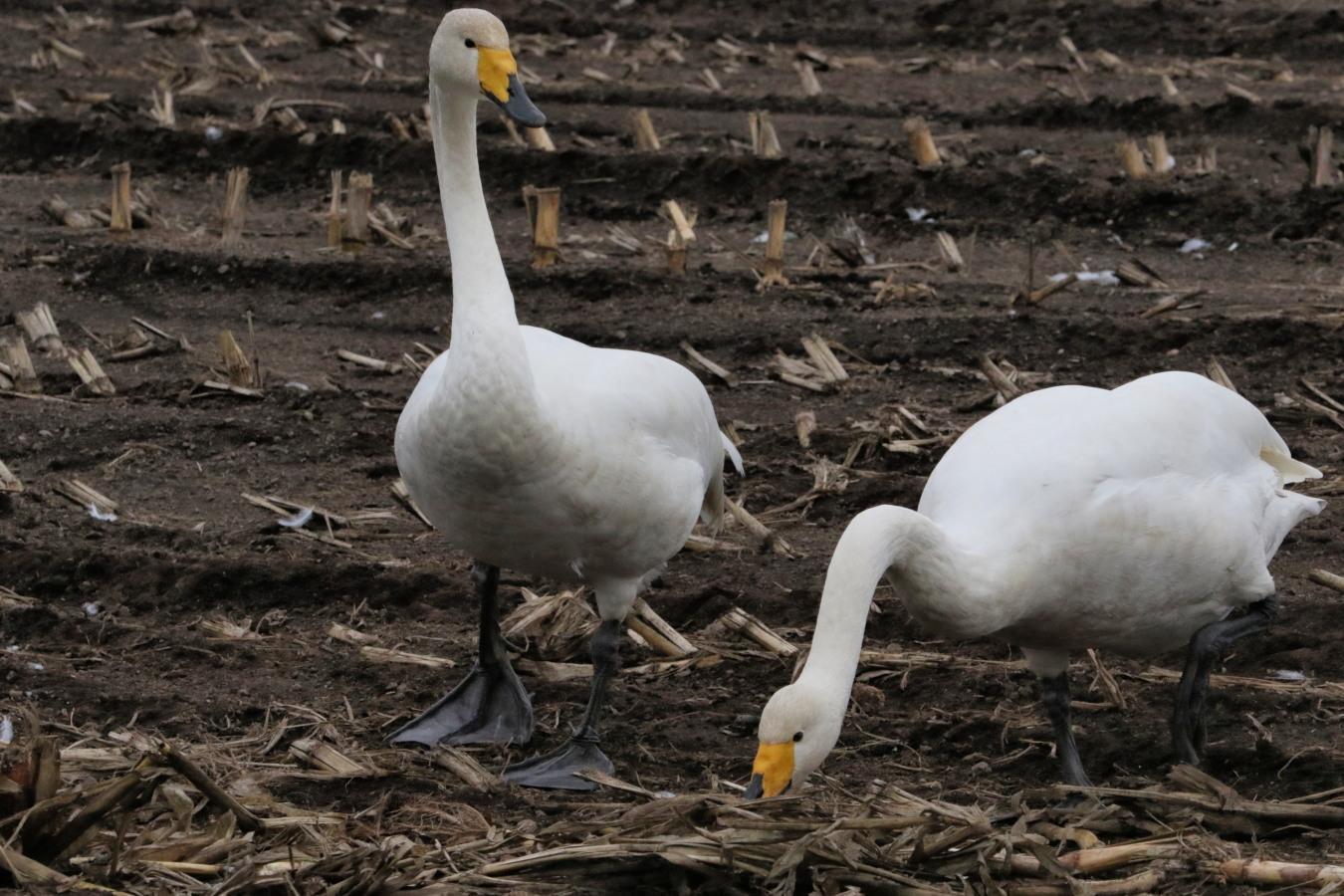 近間の畑で白鳥ほか(10/26-②)_c0360399_22193654.jpg