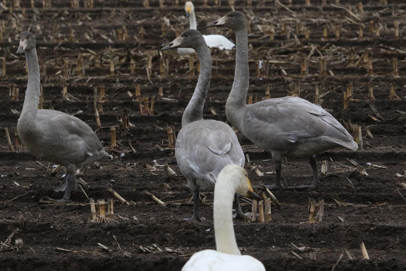 近間の畑で白鳥ほか(10/26-②)_c0360399_22200048.jpg