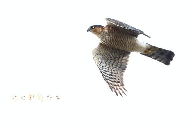 ハイタカ_e0266021_19423411.jpg
