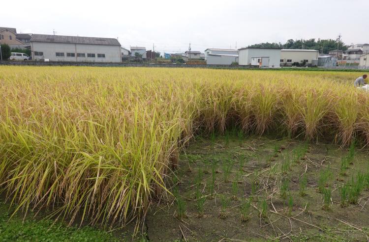 米作り~稲刈り~_a0212624_14505901.png