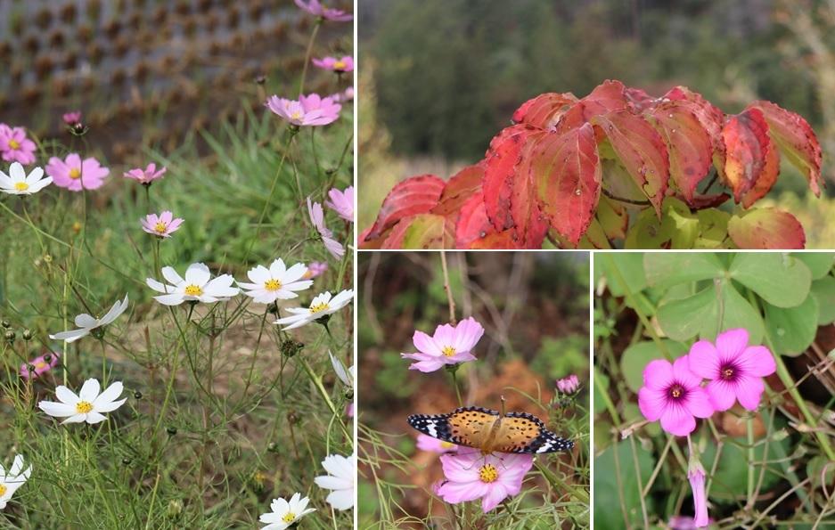コスモスとオキザリスの花と_a0212730_18580770.jpg
