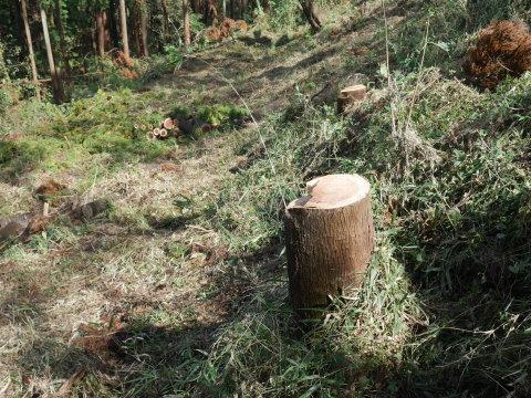 中折れスギの伐採に再チャレンジ10・26六国見山手入れ_c0014967_14095386.jpg
